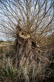 Felled willow tree Royalty Free Stock Image