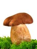 Felleus Tylopilus гриба в мхе Стоковые Изображения RF