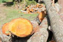 Felling of Cedar Trees Stock Photo