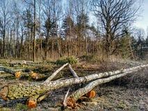 Felling das árvores Fotos de Stock Royalty Free