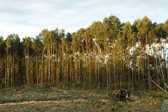 Felling of eucalyptus Stock Photo