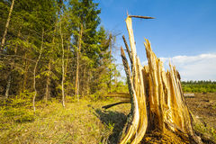 Felling of the forest. Stock Image