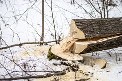 The felling of forests for cooking firewood for the winter Royalty Free Stock Images