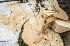 The felling of forests for cooking firewood for the winter Royalty Free Stock Photo