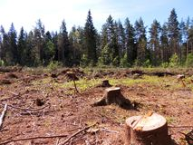 Felling of spruce forest Royalty Free Stock Photos