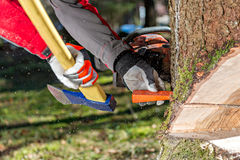 Felling the tree Stock Photo
