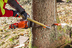 Felling the tree. Worker felling the tree with chainsaw and wedges royalty free stock photography