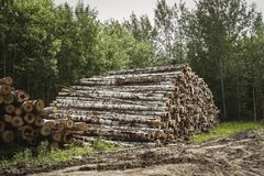 Felling of trees. Destruction of forests. Heap of felled trees.  stock photo