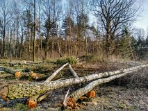 felling of trees Royalty Free Stock Photos