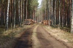 Felling of trees. Stock Image