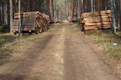 Felling of trees. Royalty Free Stock Image