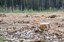 A felling of trees in a pine forest Royalty Free Stock Photography