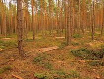 Felling of young trees in pine forest. Royalty Free Stock Images