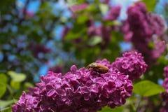 Felollonborre och lila blomma Arkivbild
