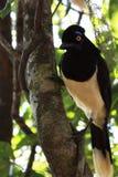 Felpa Jay con cresta Foto de archivo