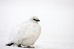 Felsen-Alpenschneehuhn Lizenzfreie Stockfotografie