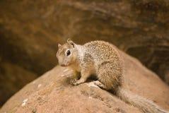 Felsen-Eichhörnchen, das nach der Fotografie sucht Stockfoto