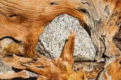 Felsen eingeschlossen durch Wurzeln Lizenzfreie Stockfotografie