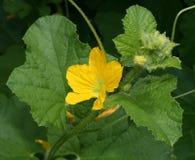 Felsen-Melone-Blume Stockfotografie
