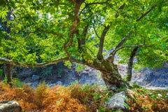 Felsen mit Moos und Herbst in einem alten Buchenwald-samothraki Lizenzfreie Stockfotos