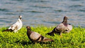 Felsen-Taube oder Felsen-Taube oder Columba livia Lizenzfreie Stockfotografie