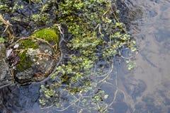 Felsen und Schilfe, die Fluss einfrieren Stockfotos