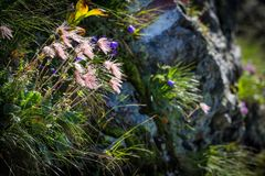 Felsenblumen in den Fagaras-Bergen Lizenzfreies Stockbild