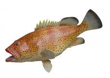 Felsenhinterseefisch, lokalisiert Lizenzfreie Stockfotos
