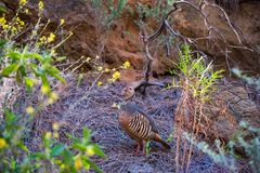 The scientific name of this bird is Alectoris barbara. This rock chicken lives on tenerife, in areas where water can be found stock photography