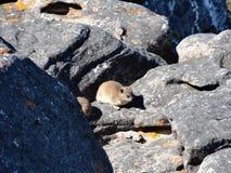 Felsenkaninchen oder dassie Lizenzfreie Stockfotos