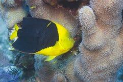 Felsenschönheit und -koralle Stockfoto