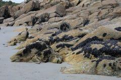 Felsformation mit Miesmuscheln, Bretagne, Frankreich Lizenzfreies Stockfoto
