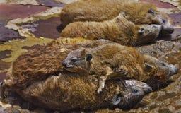 Felsige Hyraxfamilie, die in der Sonne lounging ist Lizenzfreies Stockfoto