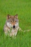 Felsiger Berggrauer Wolf Stockfotografie