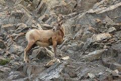 Felsiger Gebirgsbighorn-Schafe Stockbild