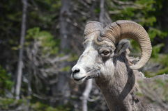 Felsiger Gebirgsbighorn-Schafe Stockfoto