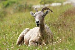 Felsiger Gebirgsbighorn-Schafe, die in einer Wiese liegen Stockfoto