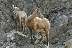 Felsiger Gebirgsbighorn-Schafe - Mutterschaf und Lamm Stockfotografie