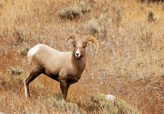 Felsiger Gebirgsgroße Hupen-Schafe Lizenzfreies Stockfoto