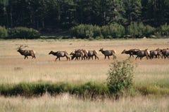 Felsiger Gebirgsnationalpark-Elche Stockfotos