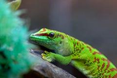Felzuma Madagáscar ou verde venenoso do geco do dia que senta-se em um tre imagem de stock