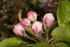 Fem Apple knoppblommor som är klara att blomma royaltyfri bild