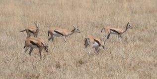 Fem beta Jackson Gazelles Tom Wurl Arkivfoto