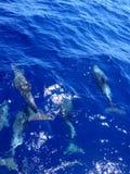 Fem delfin i djupblått vatten royaltyfria foton