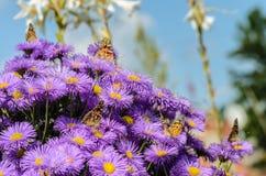 Fem fjärilar och buske av purpurfärgade aster Royaltyfri Foto