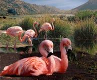Fem Flamingos Royaltyfri Foto