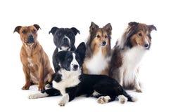 Fem hundkapplöpning arkivfoto
