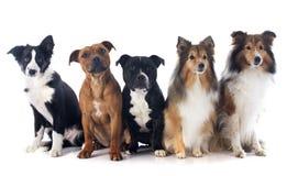 Fem hundkapplöpning arkivfoton