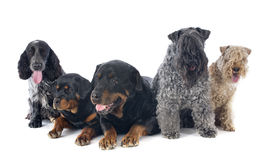 Fem hundkapplöpning royaltyfri bild