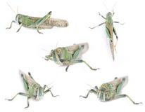 fem isolerade gräshoppor Fotografering för Bildbyråer